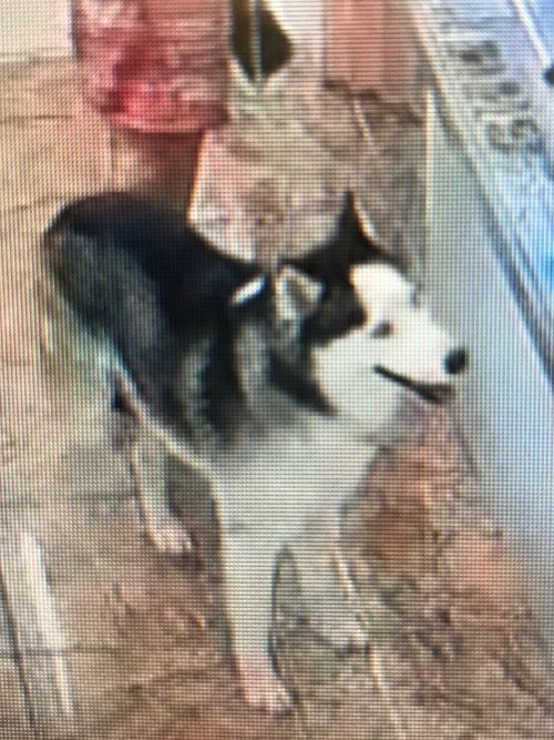 David Anthony frequently took his black and white Husky with him to public places.