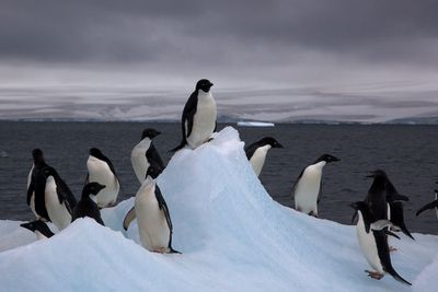 <strong>Arsehole Adélie penguins</strong>