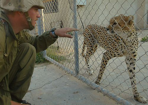 A U.S. Army solider attempts to pet a cheetah as it paces in its cage after it and several other animals were left behind when members of the Iraqi regime fled the Presidential Palace complex area after U.S. forces began their invasion.