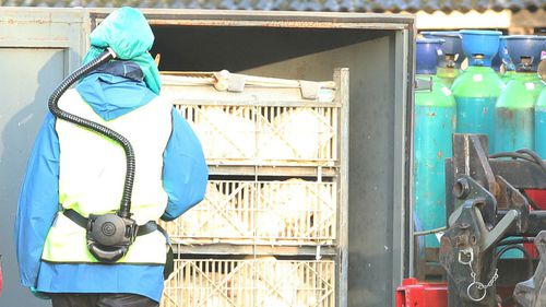 Ducks are removed after being gassed during a cull at a farm in Nafferton, East Yorkshire. (AAP)