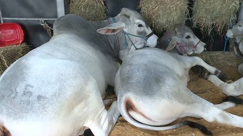 The straws of semen came from the highly recognised Tartrus Brahman Stud. Picture: 9NEWS