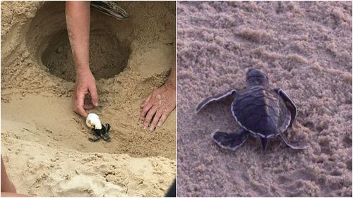 The hatchlings had to be dug up from under vast amounts of sand which covered their nest. (Supplied)