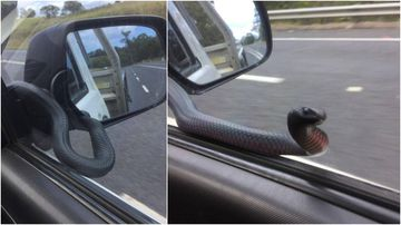 Snake 'peers' at driver through car window on highway