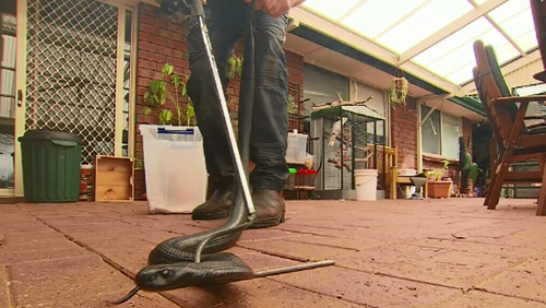 The large red belly black snake was hiding in an old sewing machine cupboard in the Adelaide Hills home.