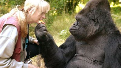 The gorilla who could communicate with humans