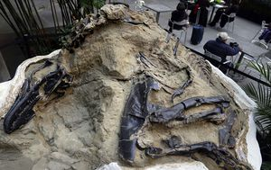 Fossils of 'duelling dinosaurs' donated to North Carolina museum