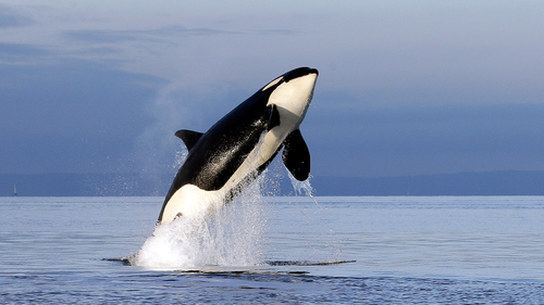 FILE - In this Jan. 18, 2014, file photo, an endangered female orca leaps from the water while breaching in Puget Sound west of Seattle, Washington.