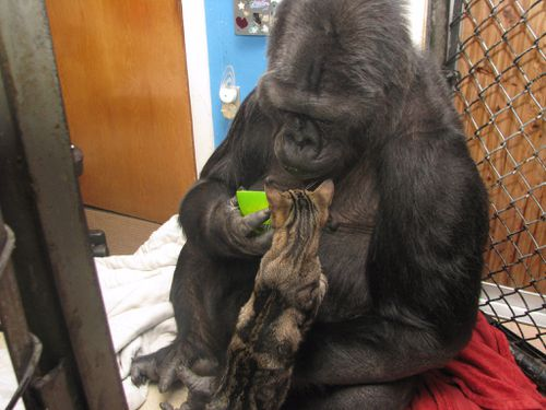 Koko asked for two kittens on her 44th birthday. She had a playful personality. (The Gorilla Foundation)