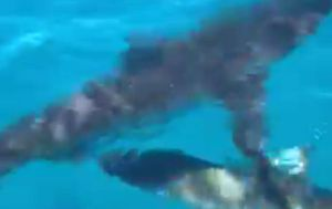 Five sharks circle boat off WA coast