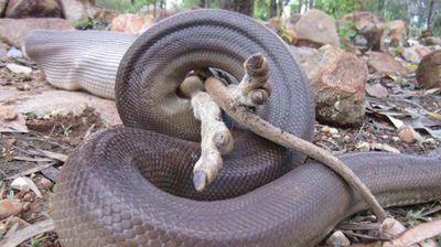 """<p> According to Greg Smith from the Territory Wildlife Park the snake's eyes were just about on par with its stomach. </p><p>  """"That is about the biggest prey it could eat,"""" he told the ABC. </p><p> </p>"""