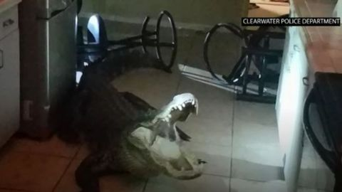 Alligator busts through Florida home's kitchen window