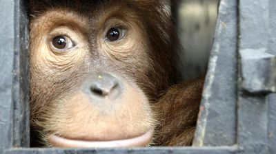 "As well as the human impact, the habitats of thousands of orangutans have been reduced to cinder. <br /><br /> ""Many times the visibility was as low as 30 metres, and we felt chest tightness and headaches,"" said Hermansyah, a carer at an orangutan centre in Kalimantan.<br /><br /> ""We believe these orangutans were also experiencing the same suffering."""