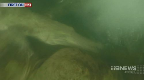 The freshwater crocodile was caught on camera. (9NEWS)