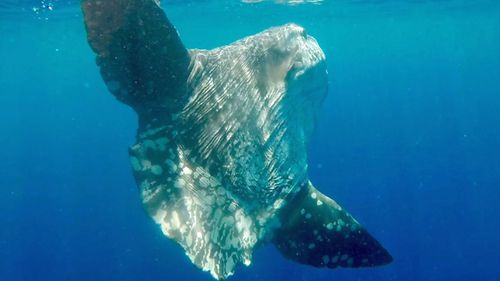 Ms Stewart said it was incredibly rare to see a Mola Mola sunfish. (Rachel Stewart)