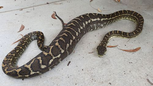 This huge python ate a pet cat on Queensland's Sunshine Coast.