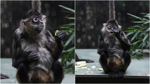 An older spider monkey enjoys a snack inside the enclosure at Melbourne Zoo. (AAP)