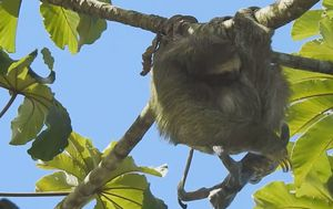Sloth captured giving birth in tree