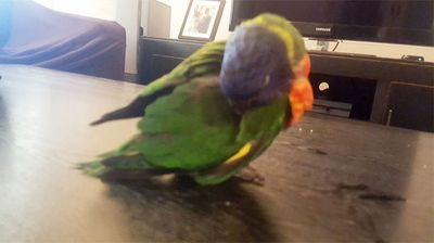 Sarah Perk-Kirk found this lorikeet struggling in the heat and brought it inside to enjoy some airconditioning. (Photo: Twitter @sarahinscience)