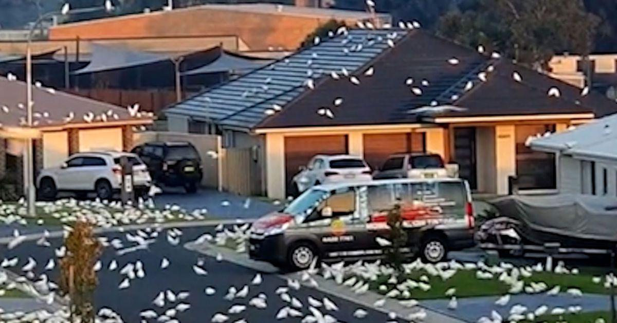 Flock of corellas take over suburban street on NSW South Coast – 9News