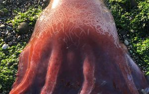 Giant 'red blob' identified as an octopus with only seven tentacles
