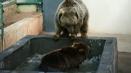 Bears were kept in confined concrete cells before being rescued and taken into Animals Australia's care.