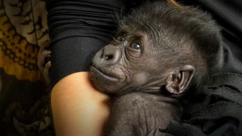 Rejected baby gorilla clings to humans wearing fake fur as zoos unite to find her a new mother