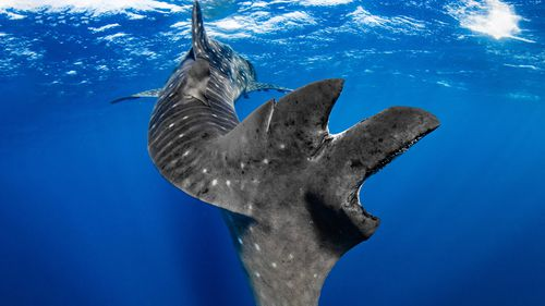 The tail of a Ningaloo whale shark (rhincodon typus) showing massive scarring.