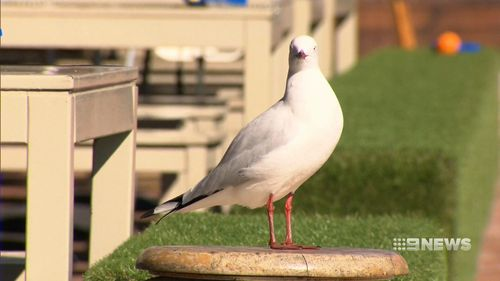 Seagulls are a growing problem for many restaurants along the coastline. (9NEWS)