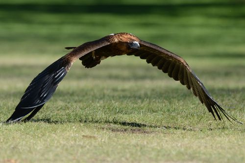A steppe eagle can have a wingspan of more than 2 metres.