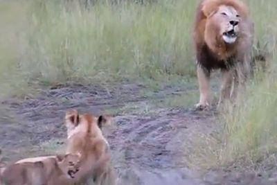 Lion cubs mimic dad's roar