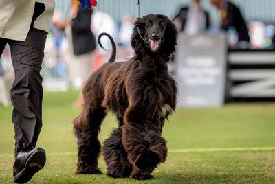 Best Puppy in Group (Hound): Afghan hound