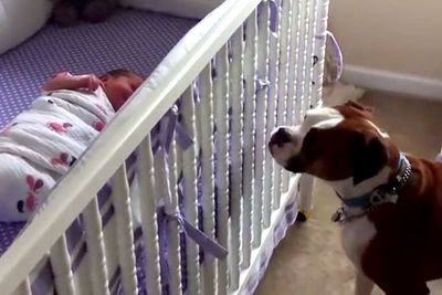 Boxer dog responds to newborn's cries