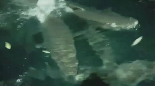 Sharks filmed swarming around a fishing boat.