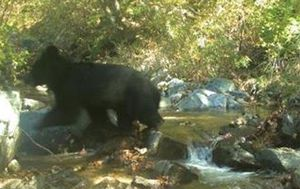 Endangered Asiatic black bear photographed on North Korean border for the first time