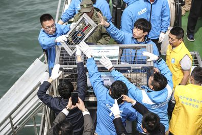 Animal groups cheered the release of 37 spotted seal pups rescued from traffickers into the wild in northern China. (Pan Yulong/Xinhua via AP)
