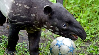 <p>A young tapir plays with a ball in a zoo in the German city of Leipzig. </p><p>Tapirs have an average lifespan of 25 to 30 years in the wild. </p>