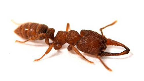 Australian ant sets fastest animal record