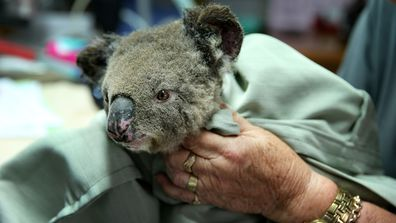 An urgent inquiry is being held to discuss the extent of damage to koala habitats.