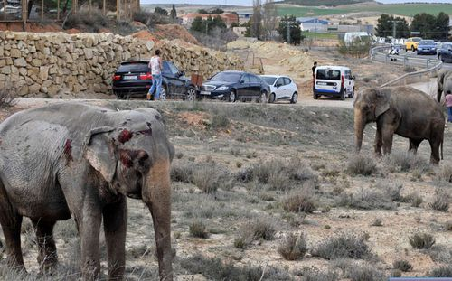 One of the injured elephants. (AP).