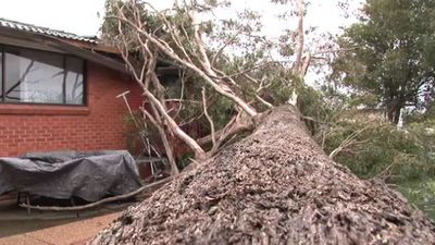 A large tree has fallen through a fence and onto a house in Greystanes. (Twitter)