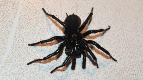 The spider that bit Matthew. (Australian Reptile Park)