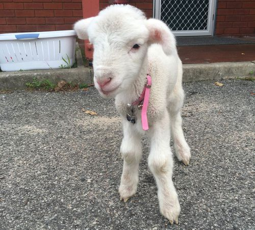 The lamb, named Buck, goes to work with Senior Constable Emma McNaboe each day. (Twitter: @MundaringPol)