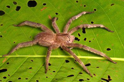 <p>Brazilian wandering spider</p>