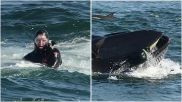 A diver had a close call when a whale picked him up in its mouth.