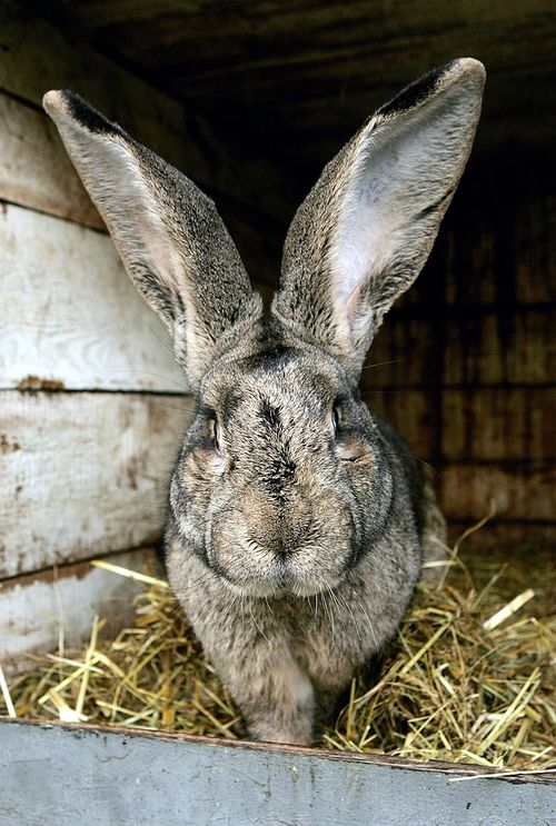 The giant rabbit reportedly costs more than $8000 to care for each year. (Getty file image)