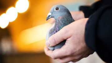 An employee of Pipa, a Belgian auction house for racing pigeons, shows a two-year old female pigeon named New Kim after an auction in Knesselare, Belgium.