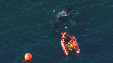 A juvenile humpback whale freed after becoming entangled in shark nets off Whale Beach in Sydney