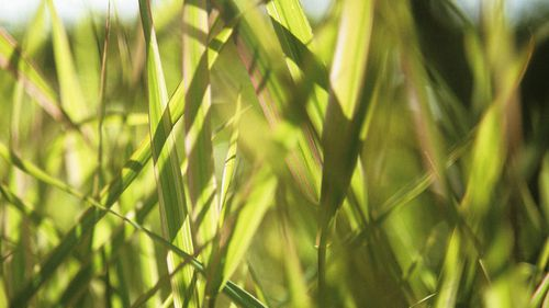Phalaris arundinacea