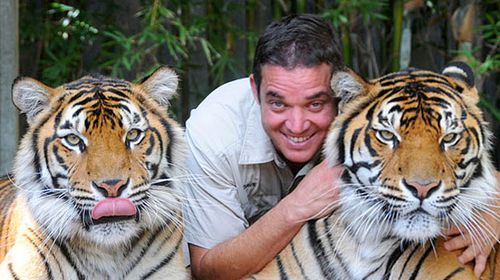 Australia Zoo keeper Dave Styles returns to work with the Sumatran tiger that mauled him last year, Charlie (right), and Sunita. (Source: Australia Zoo)
