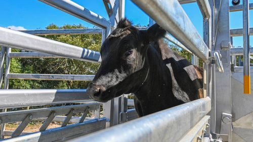 This one-year-old steer is missing from Riverview College in Sydney.